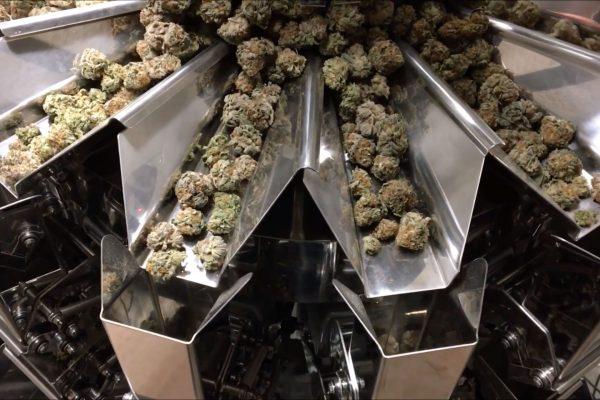 weighing-cannabis-flower